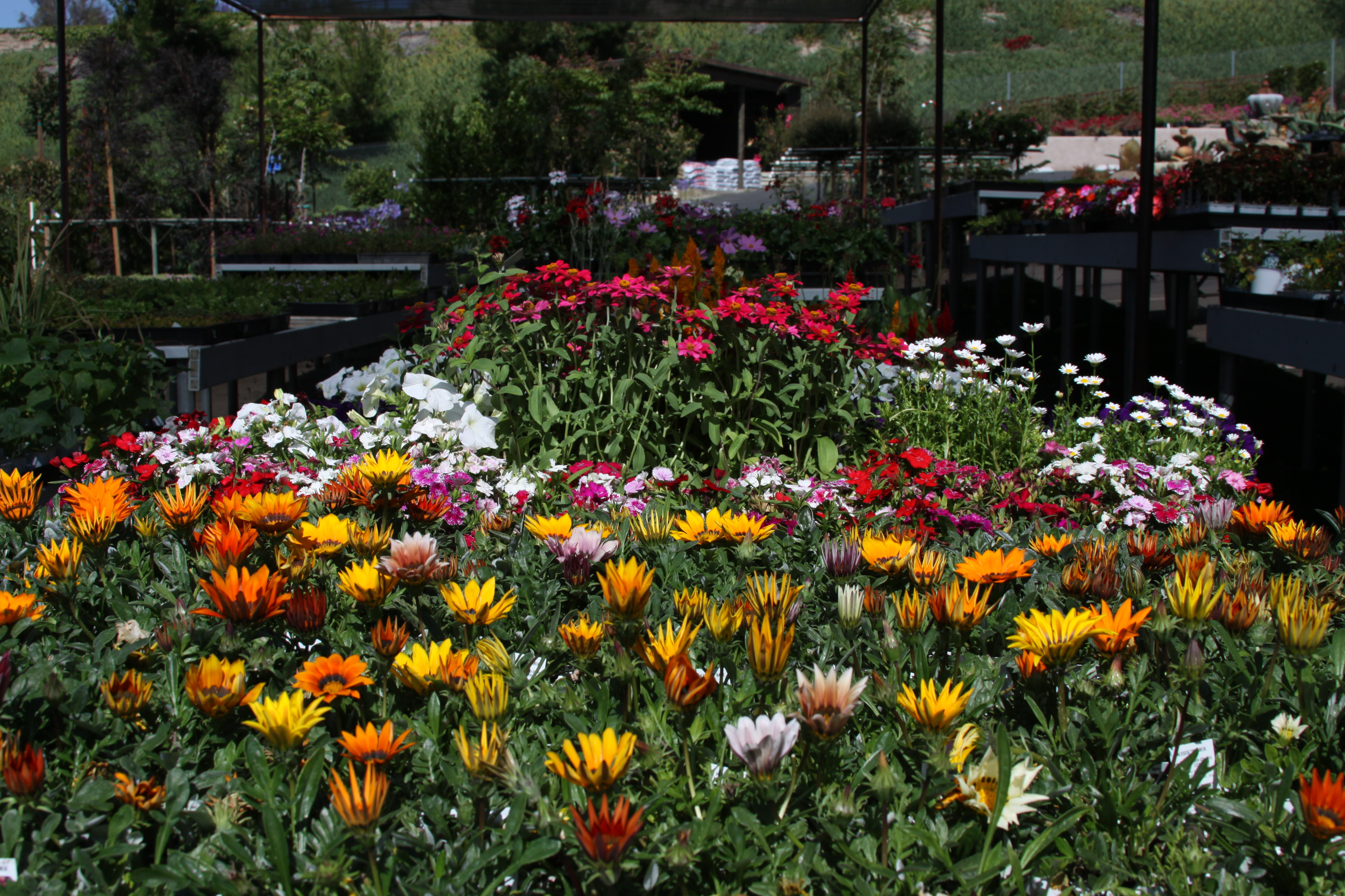 Colorful gazanias make a great backdrop for Hunter's Nursery gift certificate