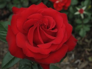 "Unbelievably beautiful ""Judy Garland"" Rose"